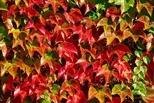 100 graines Boston Ivy vigne vigne vierge Parthenocissus tricuspidata Escalade