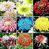 begorey Garten - Mehrfarbige Chrysanthemen Samen Mehrjährige Bonsai Blumensamen