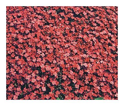 Aubrieta deltoidea Royal Red - Griechisches Blaukissen - 10 Samen