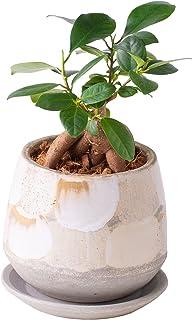 【Amazon限定ブランド】花のギフト社 ガジュマル鉢植 多幸の木 がじゅ ミニ観葉 鉢皿付