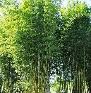 Bamboo Dwarf Multiplex Hedge - Live Plant - 3 Gallon Pot
