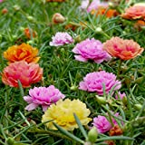 Moss Rose Doppio Mix - Portulaca grandiflora fl.pl.