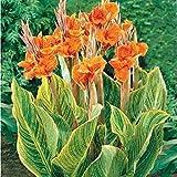 semi Canna Belle Semi di fiori d'arancio Canna indica fiori di giglio pianta da giardino 20pcs B01
