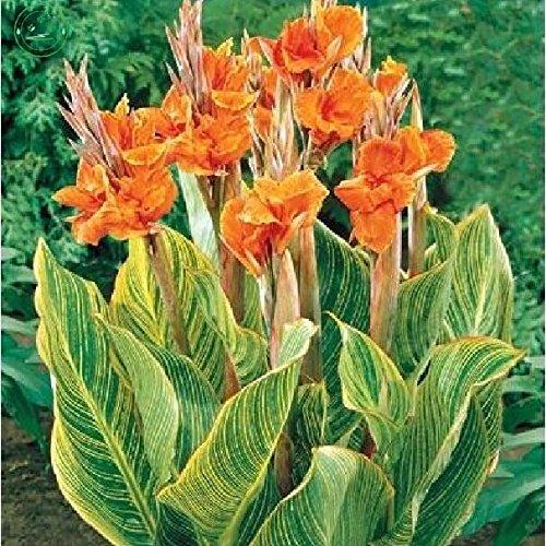 Graines de Canna belles graines de fleurs orange Canna INDICA LILY 20pcs fleur de jardin de plantes B01