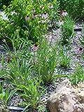 Asklepios-seeds® - 100 Semillas de Echinacea pallida Equinacea pálida