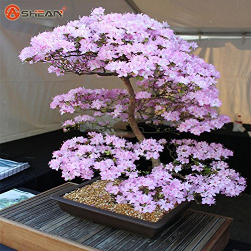Hot vente. japonais Sakura Graines bonsaï Fleur de cerisier Cherry Arbre Ornement Plante 10 particules/Lot
