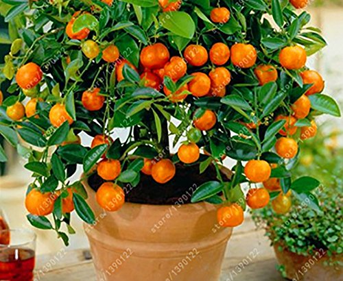Pinkdose Joyeux. Der Bestseller 20 graines d'orange nain Bonsai Mandarin Orange Graines Comestible Arbre fruitier pour le jardin