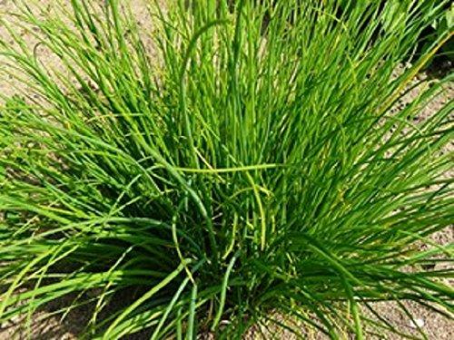 Lot de 50 Graines semences ciboulette verte Taille 10 à 25 cm plante aromatique potagère