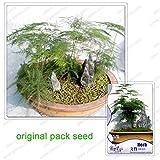 8 semi/pacchetto, asparagi semi felce, asparagus setaceus BonsaiTree, in vaso Alberi balcone, semi di piante