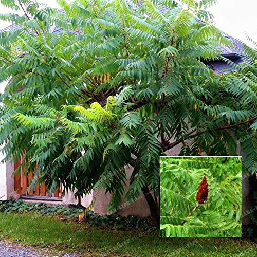 100 PC-Rhus Typhina Bonsai-Baum Bonsai Essigbaum blühende Pflanze Starke Anpassbarkeit Hirschhorn Sumach Bonsai