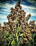 RWS 10.000 semillas de quinua blanco, las semillas de Chenopodium quinoa, SuperFood semilla
