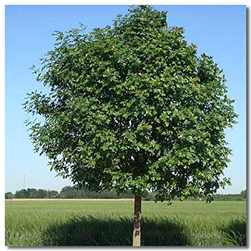 Fash Lady Chinesische Asche Laubbaum Samen Fraxinus Chinensis Bai La Shu Samen DIY Hausgarten Haushalt Grüne Pflanzen 30 Pcs