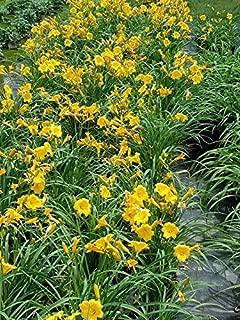 stella d oro day lily