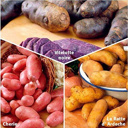 Acecoree Samen- 50pcs Bio Kartoffel Samen Gemüsesamen Purple Kartoffel ertragreich Pflanzkartoffel winterhart mehrjährig Gemüse Saatgut