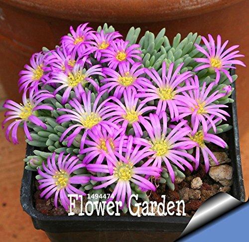 Hot Sale! Graines Succulentes Echinopsis tubiflora, graines de cactus, fleur de cactus rare, environ 10 Pieces / Bag, # OWOM37