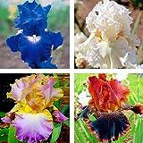 kisshes giardino - 50 pezzi di semi di iris siberiano iris semi di fiori granulosi piante da giardino per la casa perenne