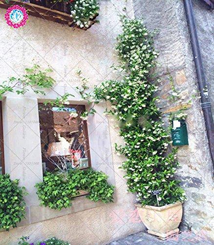 30pcs Weißen Jasmin Klettern Blumen-Samen duftend Pflanze arabischer hohe Qualität Keimungrate Topf plantiation Garten