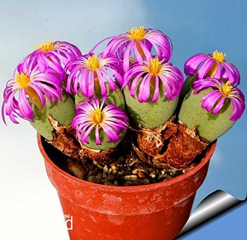 Vente chaude! Plantes 10Seed / Lot Belles graines de fleurs rares cactus graines Succulent kaktus lithops hybride bonsaï, # 6LDA8N