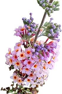 Best kaleidoscope butterfly bush seeds Reviews