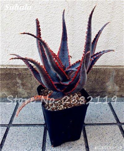 50 Pcs Aloe Vera Graines Beauté comestibles cosmétiques colorés Bonsai Cactus Succulentes Plantes Fleurs Légumes Fruits Graines Pour Balcon 18