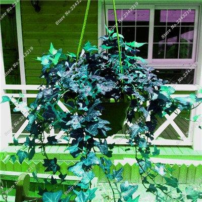 Plantes grimpantes graine rare Parthenocissus tricuspidata semences jardin plantes ornementales Four Seasons Flower 60 Pcs / sac 1