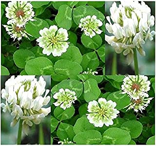 Big Pack Ground Cover - White Dutch Clover (160,000) Trifolium repens Seed - Nectar Source For Bees And Butterflies - Fixes Soil Nitrogen - Non-GMO Seeds By MySeeds.Co (Big Pack - Dutch White Clover)