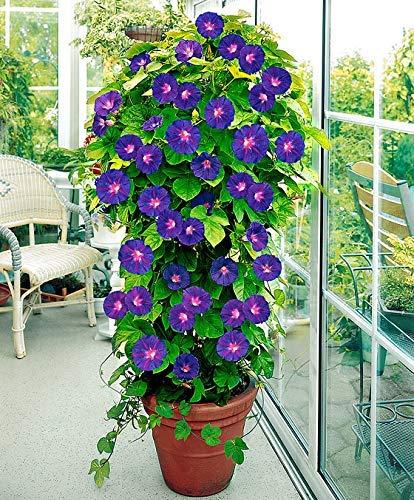 Yukio Samenhaus - Rarität Prunkwinde(Ipomoea) Lange blühend Blau Kletterpflanze Sommerblume Blumensamen mehrjährig winterhart exotisch