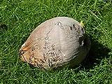 PLAT FIRM Germinazione dei semi: 1 Palma da cocco Seed pronto a piantare