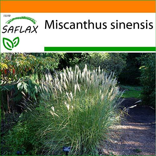 SAFLAX - Jardin dans le sac - Roseau de Chine - 200 graines - Miscanthus sinensis
