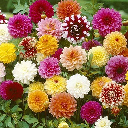 Dahlia graines de fleurs 30+ graines de fleurs géantes graines mélangées colorées pour la maison/jardin/extérieur/cour/plantation de ferme