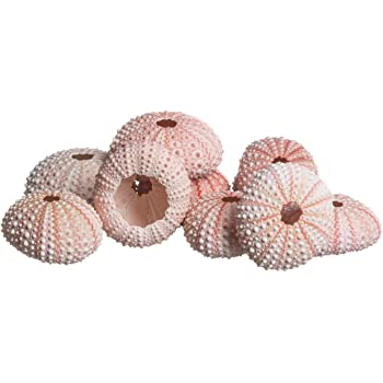 Sea Urchin Pink CYS EXCEL 25 Pieces sea Urchin Shell Pink Color Urchin Shells Size 1.25-2 Perfect Accents Nautical D/écor VFSS0401//02 Beach Theme Party Wedding Decoration Home Decor
