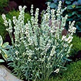 White Lavender Plants For Sale-Buy White Lavender Plants