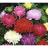 新鮮な1000年シーズ - Paeonyアスターの花の種ミックス