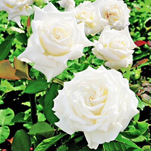 Pianta in zolla da esterno roseto ROSA BIANCA PLANTARETTE 'PROFUMO DI VENERE'