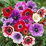 Anemonen de Caen Mischung, Eine Packung enthält Blumenzwiebeln Pflanzen in Topqualität und einfache Pflanzinformationen (10)