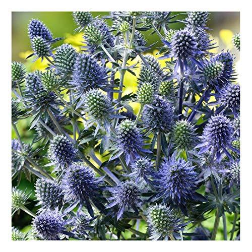 1 x Eryngium planum 'Blue Hobbit'...