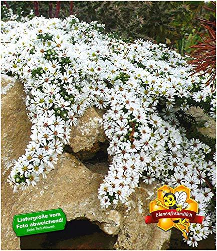 BALDUR-Garten Winterharter Bodendecker Steinaster 'Snowflurry', 3 Pflanzen Aster ericoides