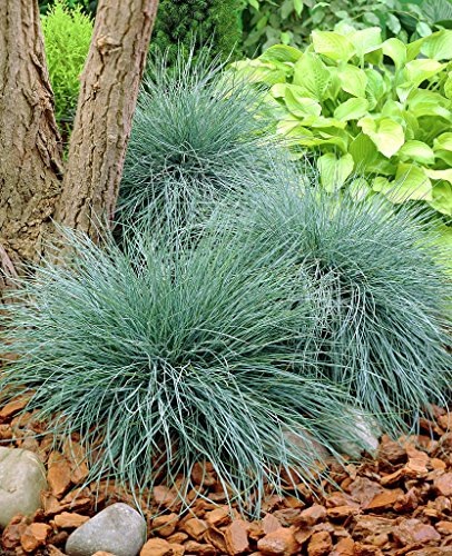 Top ornamental grass seed zone 5 for 2020