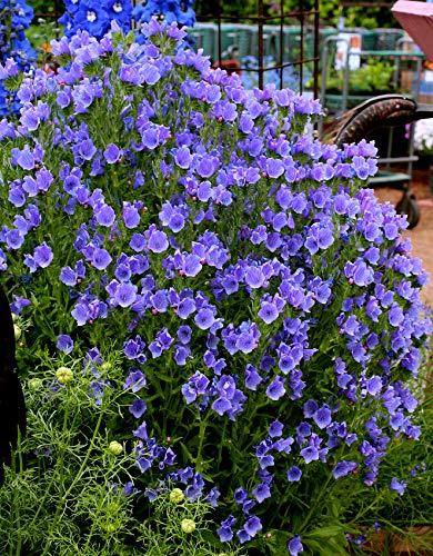 Derlam Samenhaus-100 Pcs Natternkopf Blue Bedder Saatgut Kübelpflanze bienenfreundliche blumensamen mehrjährig winterhart für Garten