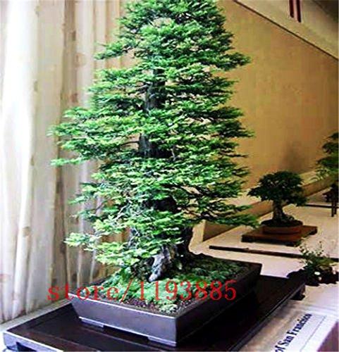 100pcs/bag Coast Redwood Seeds Sequoia sempervirens Bonsai tree ,tree seeds,Decoration plants for home garden