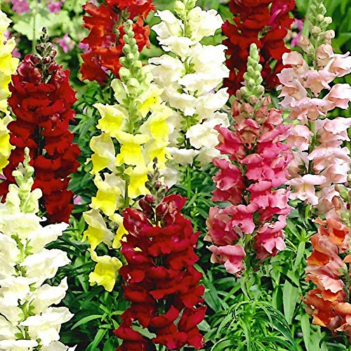Tetra Snapdragon Seed Mix, 2000 Heirloom Seeds Per Packet, Non GMO...