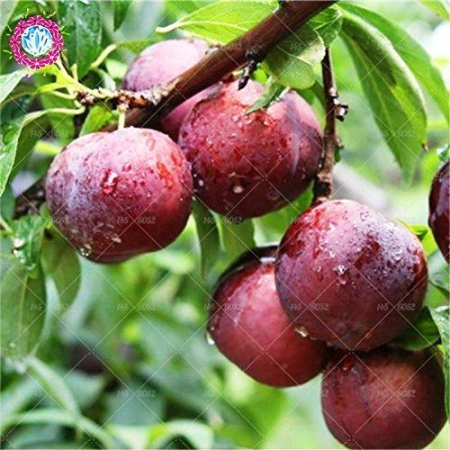 SwansGreen 5 : bonsai Apricot tree apricot seed 5pcs Japanese Apricot Chinese Plum Blossom Prunus Mume Wintersweet Seeds Flower Tree Seeds 5