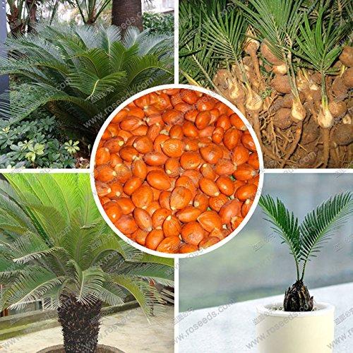 PRODUITS HOO - Graines Cycas, graines de cycadophytes balcon mis en pot, la plantation est simple, l'absorption de rayonnement 100% vrai graine Vente chaude!