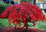 Tamukeyama Red Weeping Laceleaf Japanese Maple - 2 - Year Live Plant