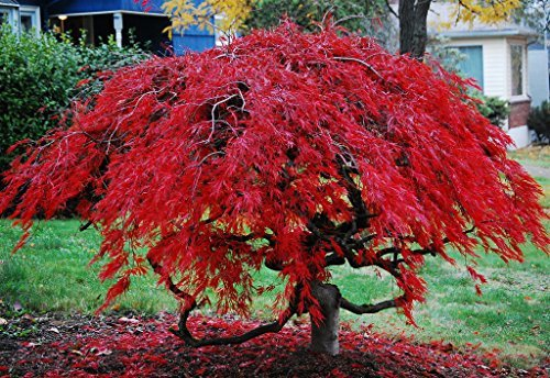 Red Laceleaf Weeping Japanese Maple Tamukeyama Tolerates Sun - 2 Year Live Plant
