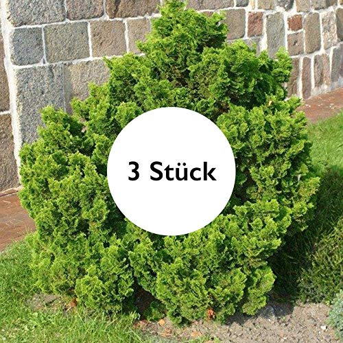 Pflanzen Kölle 3er-Set Muschelzypresse (Chamaecyparis obtusa 'Nana Gracilis') 1x Höhe 12-15 cm im 1,5 l Topf, 1x 15