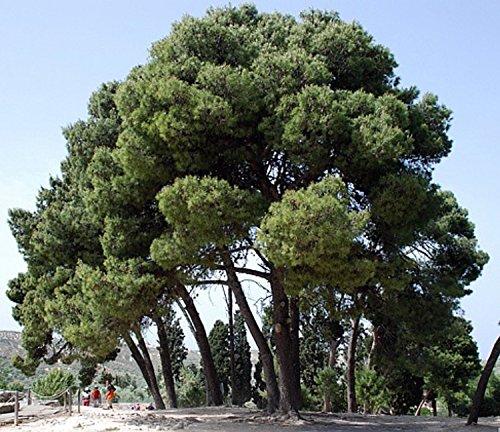 Aleppo Pine Bonsai 30 Seeds-Pinus halepensis -  Hirt's Gardens, 107815756
