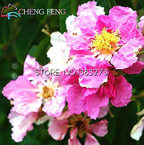 50pcs de vente Hot / lot Taiwan Big Jujube Seeds miel doux Dates Graines Fruit Tree Bonsai Usine bricolage jardin