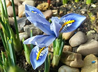 10 Bulbs of Dwarf Iris Reticulata Cantab, Blue w/Intricate Yellow White Flowers