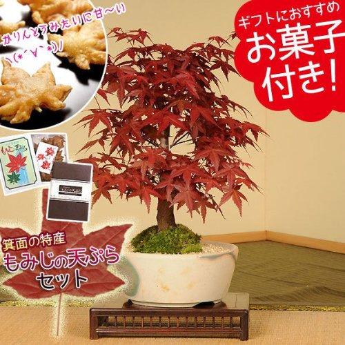 盆栽:出猩々もみじ(瀬戸焼小鉢)もみじの天ぷらセット*プレゼントにも 秋の味覚 紅葉の名所大阪府箕面市の伝統のお菓子とのセットです